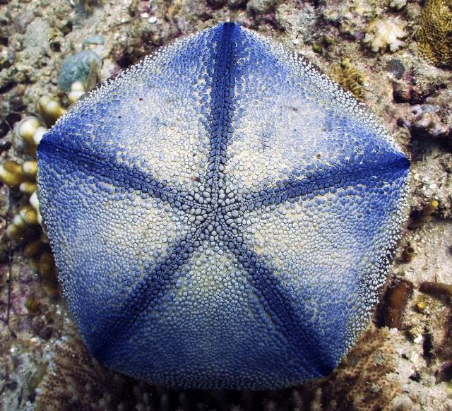 Cushion Sea Star Facts