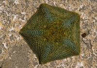 Cushion Sea Star Diet